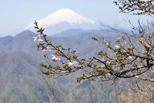 マメザクラ咲く山地より富士山の写真素材 [FYI04113893]