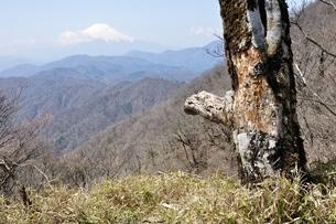 富士山に古木の写真素材 [FYI04113898]