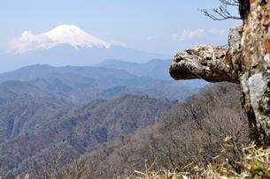 富士山に古木の写真素材 [FYI04113899]