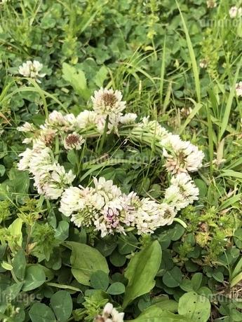 春の芝生に置かれたシロツメクサの花飾りの写真素材 [FYI04113984]