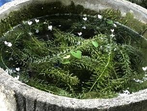 防火用水に咲いたオオカナダモの花の写真素材 [FYI04113985]