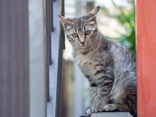 町中にいる薄茶色の野良猫の写真素材 [FYI04114186]
