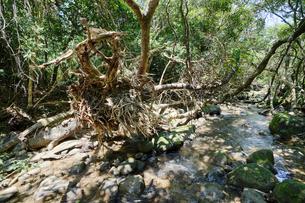 西表島のジャングルの写真素材 [FYI04114355]