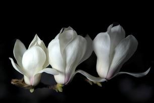 夜に咲くハクモクレンの写真素材 [FYI04114369]
