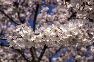 信州 長野県松本市 松本城の桜の写真素材 [FYI04114457]