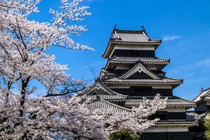 信州 長野県松本市 国宝松本城大天守と桜の写真素材 [FYI04114471]