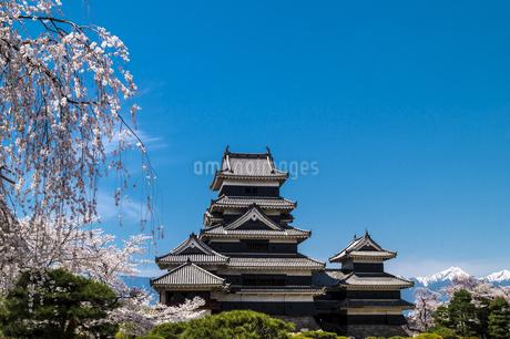 信州 長野県松本市 国宝松本城大天守と桜と北アルプスの写真素材 [FYI04114472]