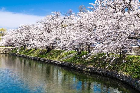 信州 長野県松本市春 松本城のお堀の桜の写真素材 [FYI04114473]