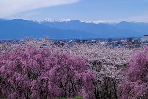 信州 長野県松本市春 弘法山古墳の桜と北アルプスの写真素材 [FYI04114477]