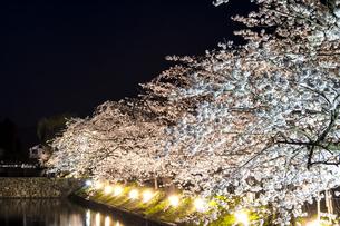 信州 長野県松本市春 松本城のお堀の桜のライトアップの写真素材 [FYI04114483]