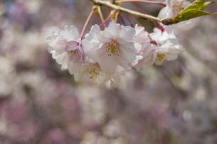 桜の写真素材 [FYI04114577]