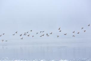 凍りついた朝の湖の上を飛ぶ水鳥たちの写真素材 [FYI04114759]