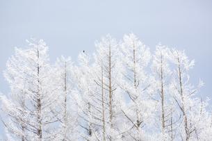 冬の朝  霧氷で真っ白になった木々の写真素材 [FYI04114776]