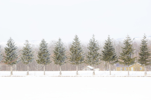 一列に並んだトドマツの木々の写真素材 [FYI04114778]
