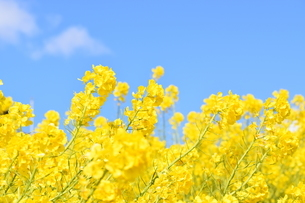 菜の花の写真素材 [FYI04115054]