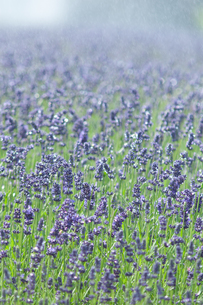 ラベンダー花畑の写真素材 [FYI04115076]