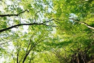 鍋割山の森の新緑の写真素材 [FYI04115122]