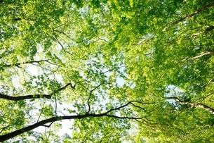 鍋割山の森の新緑の写真素材 [FYI04115123]