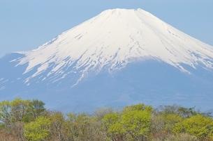 新緑に富士山の写真素材 [FYI04115192]