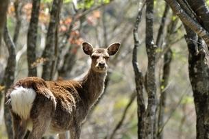 森のニホンジカの写真素材 [FYI04115226]