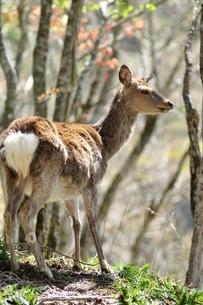 森のニホンジカの写真素材 [FYI04115229]