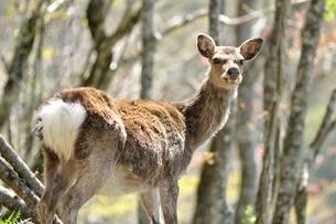 森のニホンジカの写真素材 [FYI04115231]