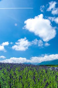 ラベンダーお花畑と夏空の写真素材 [FYI04115271]