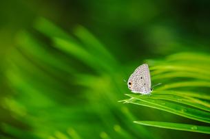 シジミチョウの写真素材 [FYI04115278]