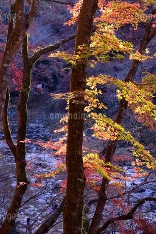 香嵐渓、紅葉、2019、その10の写真素材 [FYI04115439]