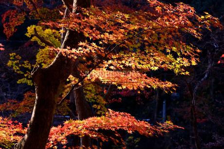 香嵐渓、紅葉、2019、その8の写真素材 [FYI04115441]