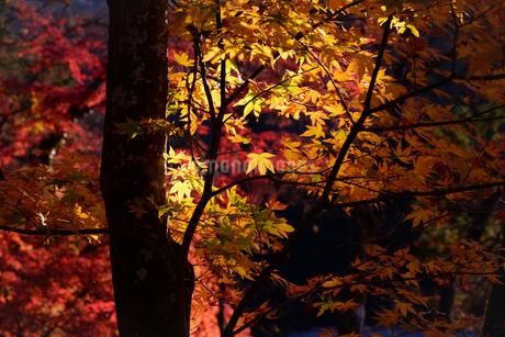 香嵐渓、紅葉、2019、その1の写真素材 [FYI04115448]