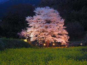 淡墨桜の写真素材 [FYI04115495]