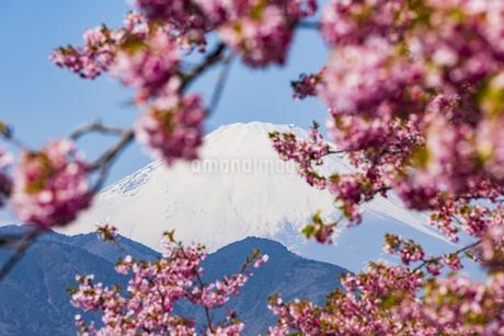 富士山と河津桜 ①の写真素材 [FYI04115529]