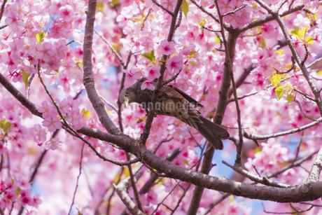 ヒヨドリと河津桜 ②の写真素材 [FYI04115543]