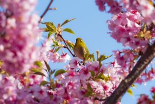 メジロと河津桜の写真素材 [FYI04115568]