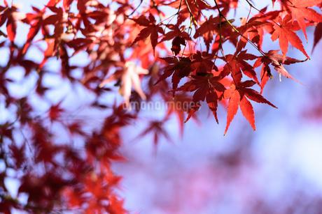 小石川後楽園の紅葉と青空の写真素材 [FYI04115585]