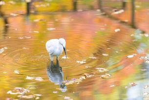 小石川後楽園のシラサギの写真素材 [FYI04115587]