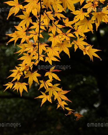 小石川後楽園の雨に濡れた紅葉の写真素材 [FYI04115605]
