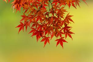 小石川後楽園の紅葉 ③の写真素材 [FYI04115606]