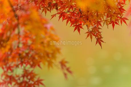 小石川後楽園の紅葉 ④の写真素材 [FYI04115607]