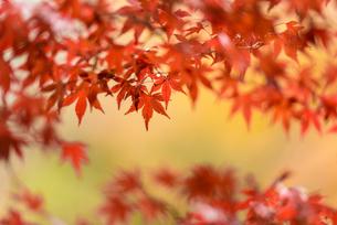 小石川後楽園の紅葉 ⑤の写真素材 [FYI04115608]