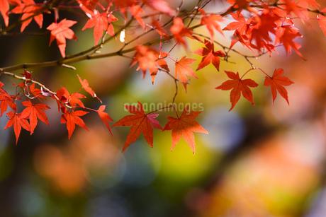 小石川後楽園の紅葉 ⑥の写真素材 [FYI04115609]
