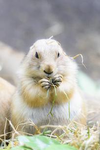 食事をするオグロプレーリードッグの写真素材 [FYI04115625]