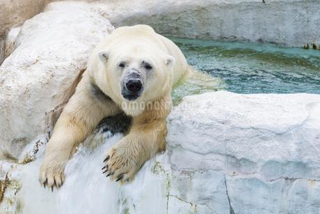 水辺で戯れるホッキョクグマの写真素材 [FYI04115626]