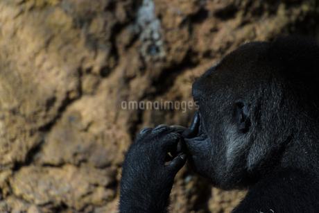 ニシゴリラの横顔の写真素材 [FYI04115634]