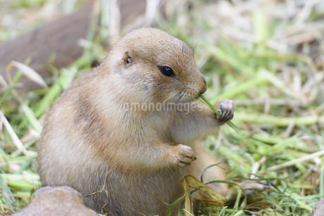 葉っぱを食べるオグロプレーリードッグの写真素材 [FYI04115636]