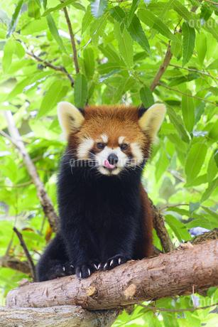 舌舐めずりをするレッサーパンダの写真素材 [FYI04115641]