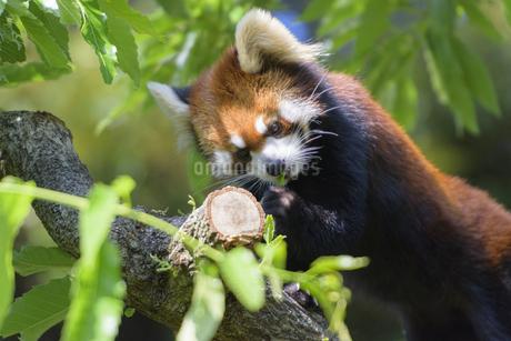 食事をするレッサーパンダの写真素材 [FYI04115644]