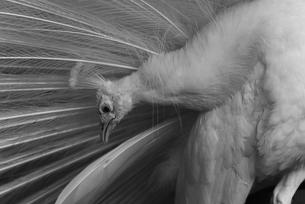 カッコイイ白孔雀の写真素材 [FYI04115646]