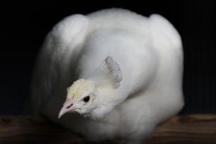 暗闇の白孔雀の写真素材 [FYI04115647]